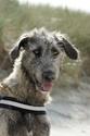 bébés irish wolfhound levrier irlandais LOF Dsc00311