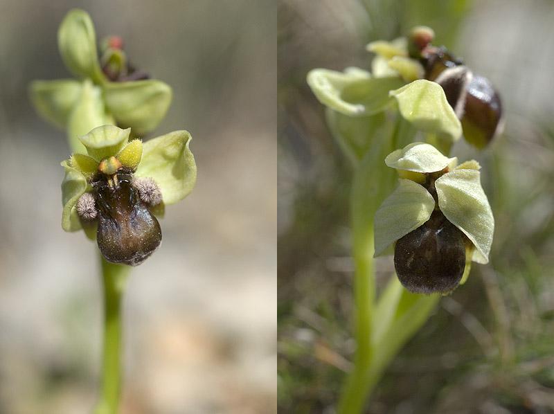 Ophrys bombyliflora ( Ophrys bombyx ) 13avri11