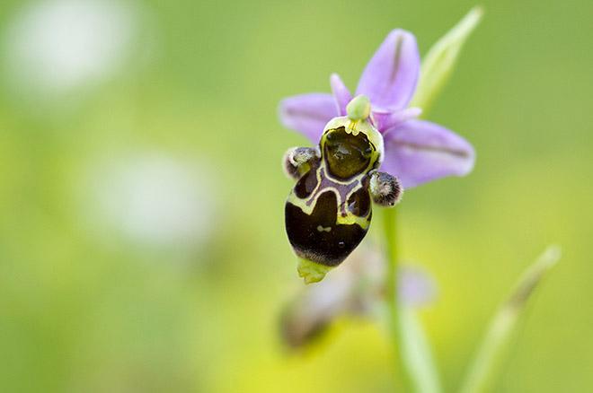 Ophrys scolopax ( Ophrys bécasse ) 24mai017