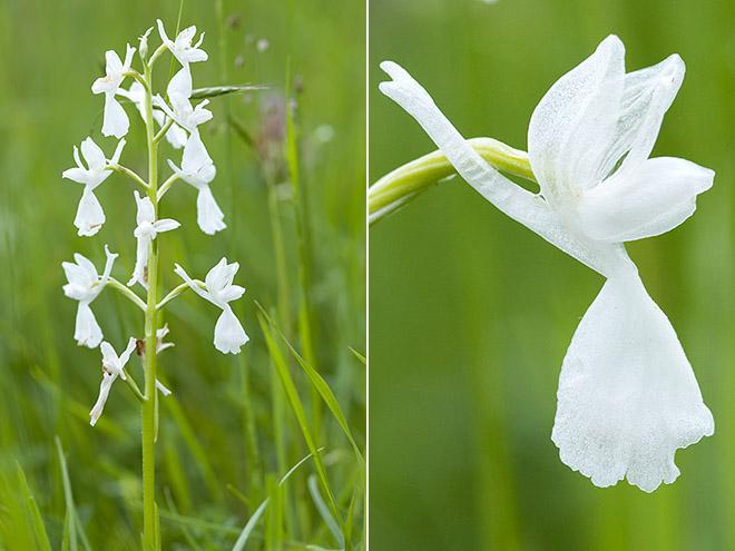 Anacamptis laxiflora ( Orchis à fleurs lâches ) 24mai112