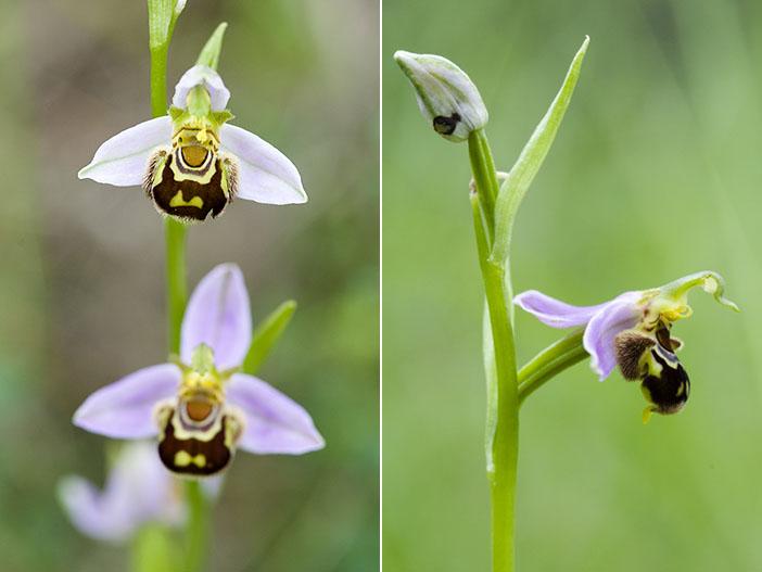 Ophrys apifera (Ophrys abeille ) Api210