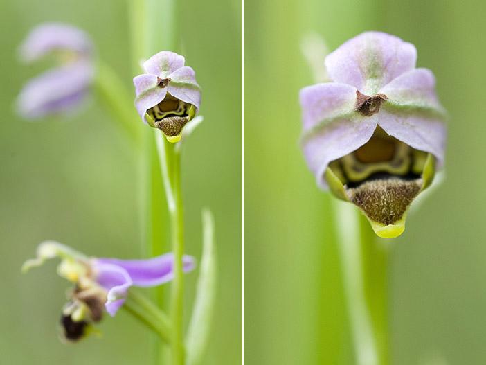 Ophrys apifera (Ophrys abeille ) Api310