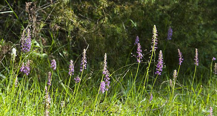 Gymnadenia conopsea (Orchis moucheron) Gymna210