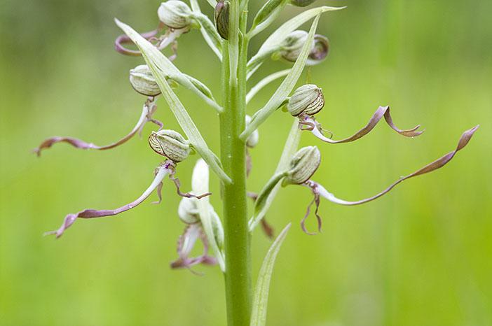 Himantoglossum hircinum  ( Orchis bouc ) Himan110