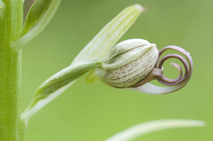 Himantoglossum hircinum  ( Orchis bouc ) Himan210