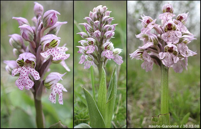 Neotinea lactea ( Orchis couleur de lait ) Lactea14
