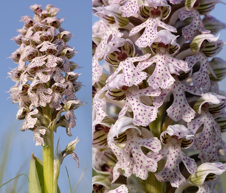 Neotinea lactea ( Orchis couleur de lait ) Lactea16