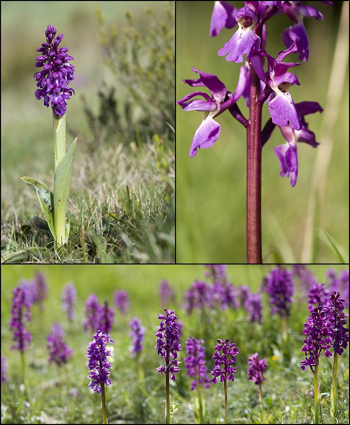 Orchis mascula ( Orchis mâle ) Mascul10