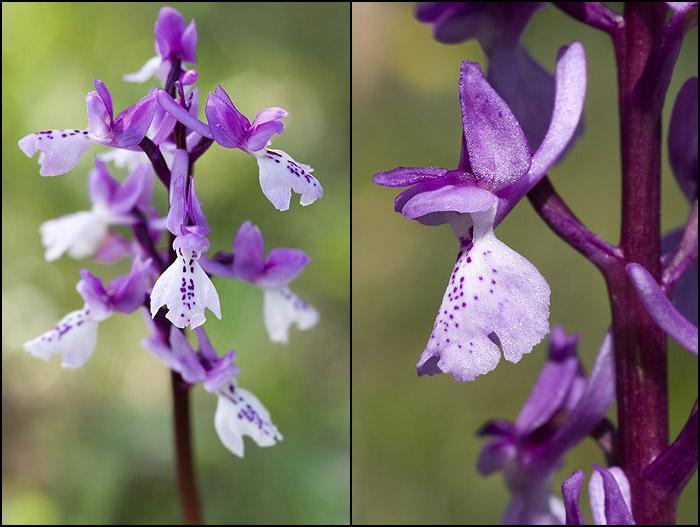 Orchis olbiensis ( Orchis d'Hyères ) Olbien10
