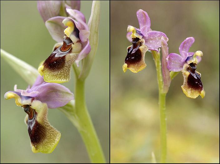 Ophrys tenthredinifera ( Ophrys guêpe ) Tenthr10