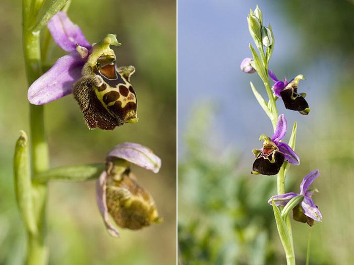 Ophrys aegirtica ( Ophrys du Gers ) Trunca10