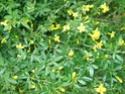 jasmin d'hiver qui fleuri en juin ? [Jasminum fruticans] 28_mai86