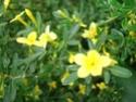 jasmin d'hiver qui fleuri en juin ? [Jasminum fruticans] 28_mai88