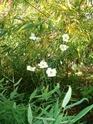 le jardin de Giroflée 2 - Page 18 Fleurs24
