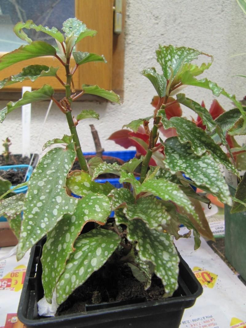 Son nom svp.  [ Begonia Medora ] Img_1112