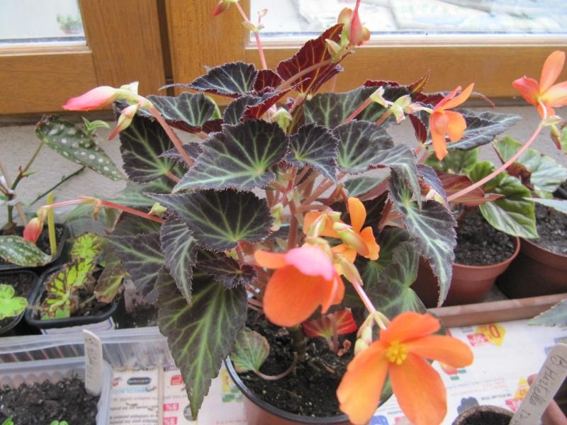Id = begonia glowing embers Img_1114