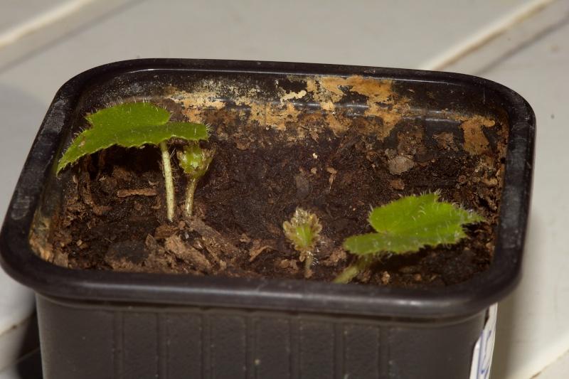 semis de bégonias Img_3911