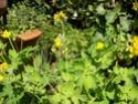 chélidoine ou herbe a verrues 100_1411
