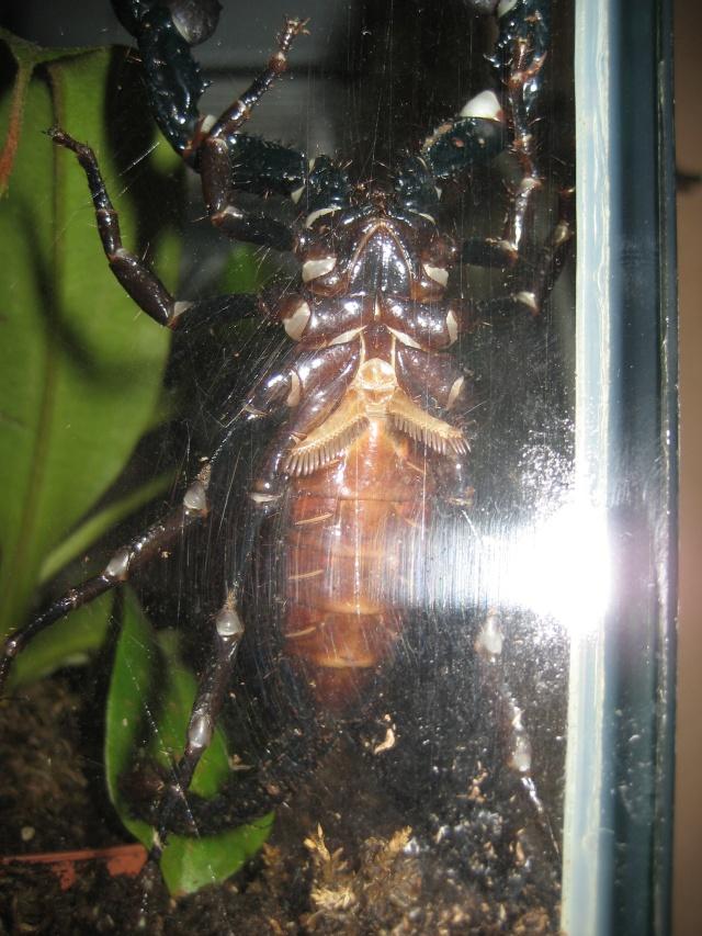 Fiche d'élevage de l'heterometrus longimanus Styx_010
