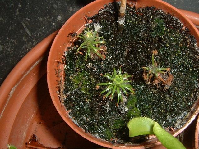 Drosera scorpioides Dscf0029