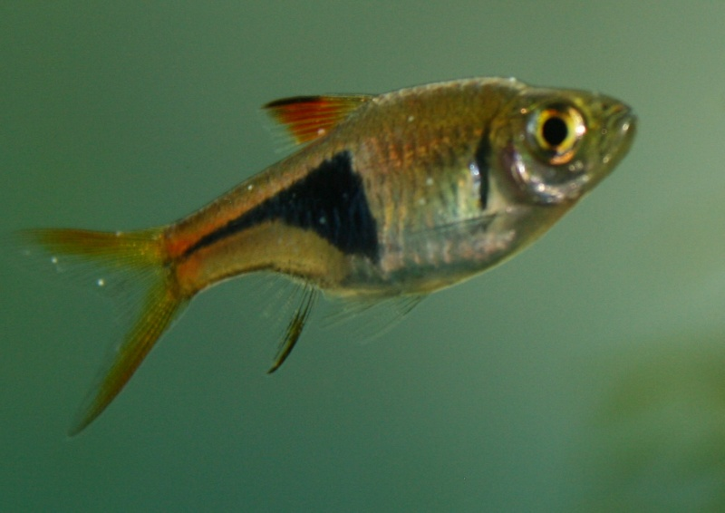 Points blancs sur Rasbora Arlequin 00110