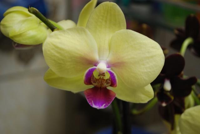 Les orchidées de Bev' Dsc_0054