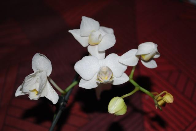 Les orchidées de Bev' Dsc_0057