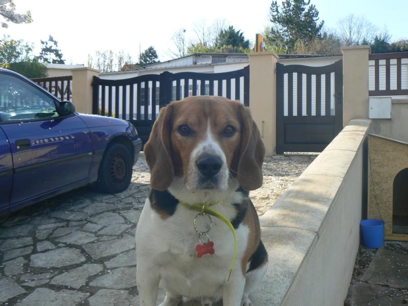 DUCKY, beagle mâle, 4 ans  (94) P1120710