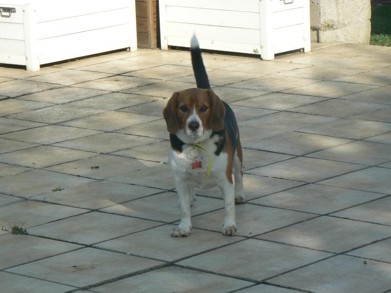 DUCKY, beagle mâle, 4 ans  (94) P1120711