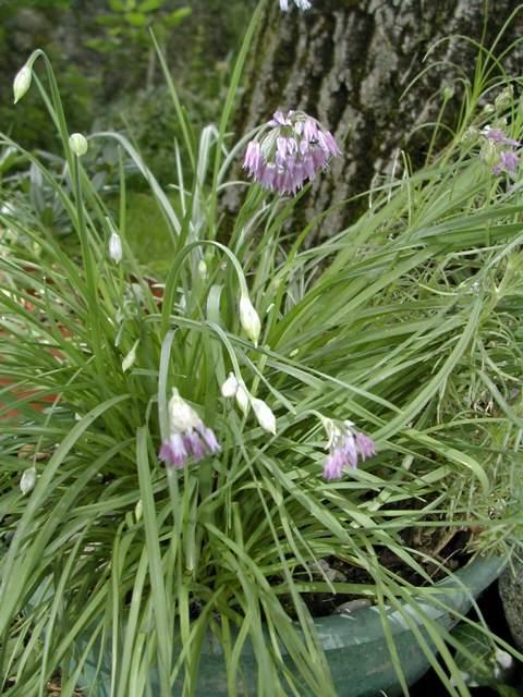 Allium caesium : Devinette semaine 23 Dscn9613