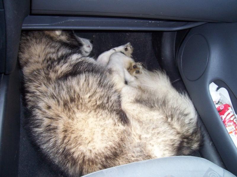 NOEMIE - femelle husky 11 ans - SPPA 80 DECEDEE - Page 5 0201010