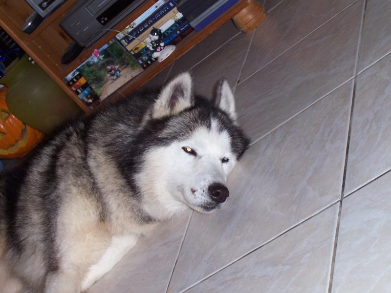 NOEMIE - femelle husky 11 ans - SPPA 80 DECEDEE - Page 5 0401010