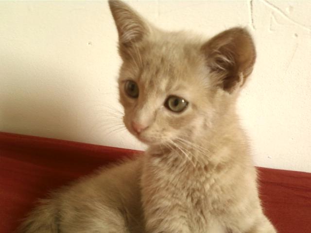 Je vous présente mon chaton : Ambre Img41110