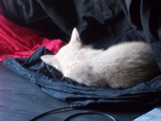 Je vous présente mon chaton : Ambre Photo_39