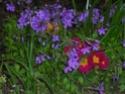 traçante à fleur bleue => Phlox stolonifera Flbleu11