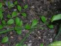 traçante à fleur bleue => Phlox stolonifera Flbleu12