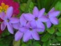 traçante à fleur bleue => Phlox stolonifera Fleurs11