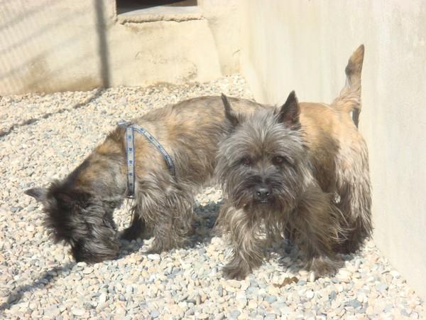 Rock et Charbon, croisés cairn terrier , en FA (01) 10_10_16