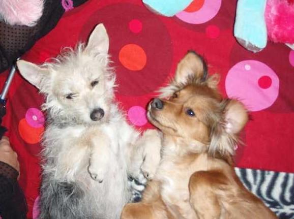 perdu 2 petites chiennes dans le 06 F-vrie10