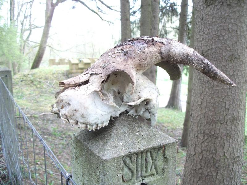 Crâne à identifier Animal10