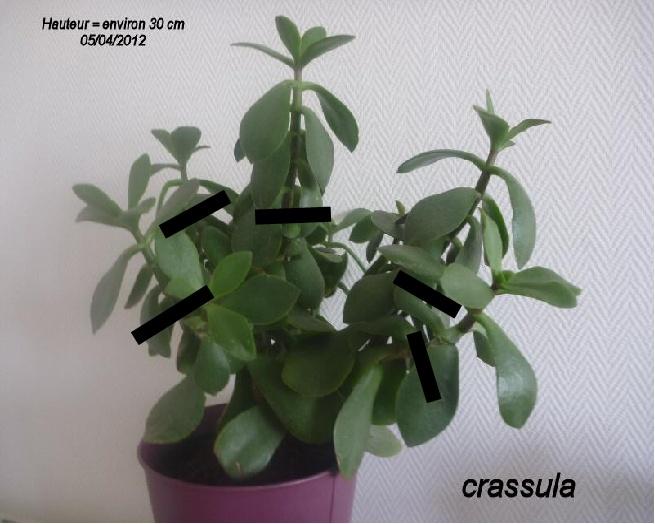 Crassula en fleurs Grassu13