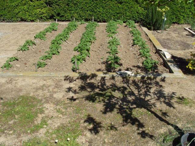 Les pommes de terre S1050031
