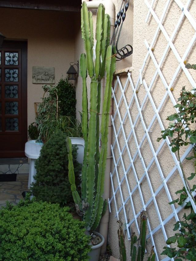 Euphorbia erythrea S1050038