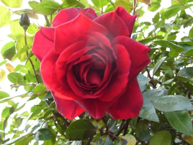 Petit album de roses S1050057