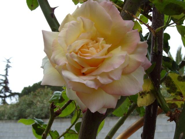 Petit album de roses S1050058