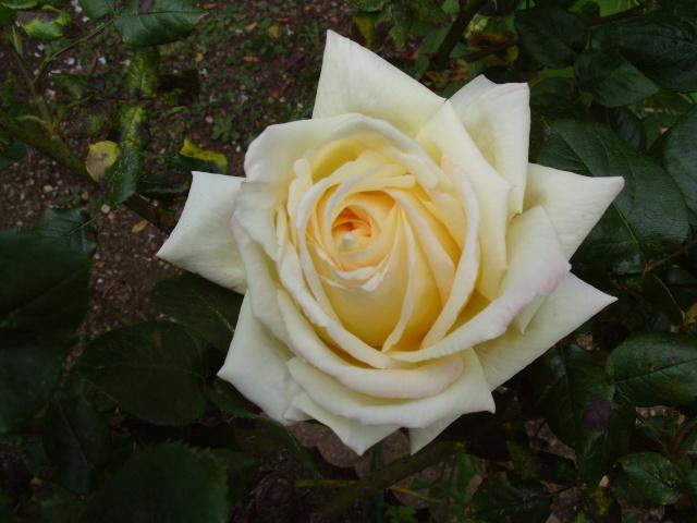 Petit album de roses S1050059