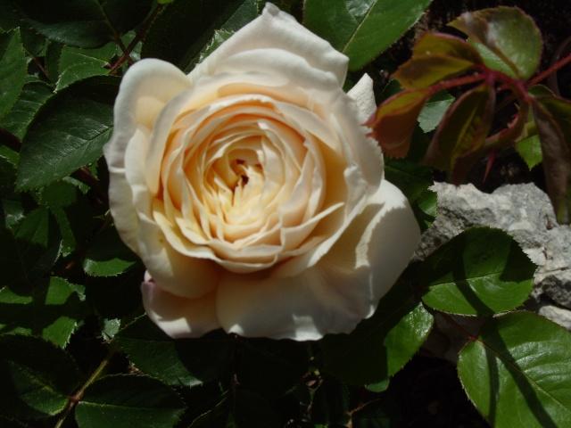 Petit album de roses S1050062