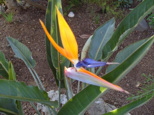 oiseau de paradis S1050110