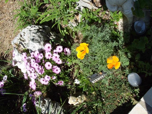 Eschscholzia californica S1050154