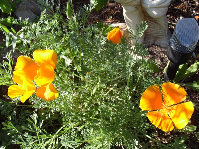 Eschscholzia californica S1050155